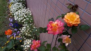 アンネの薔薇.jpg